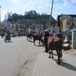 Ooty cows